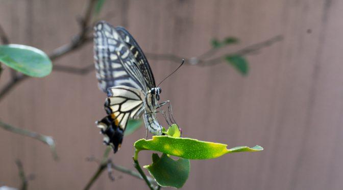 アゲハチョウ、中秋の産卵